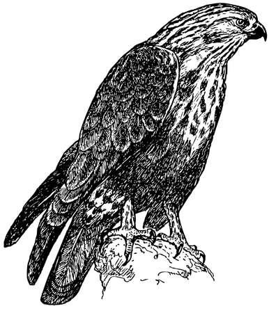 buzzard: Bird Rough-legged Buzzard
