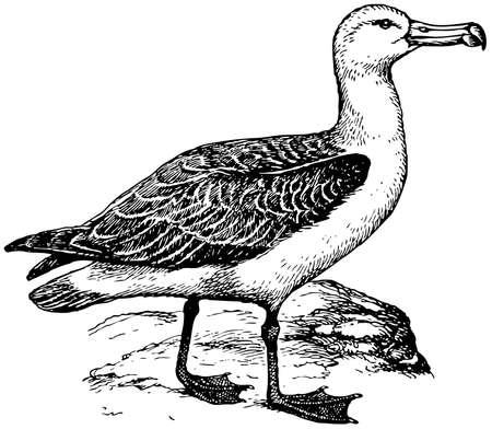 albatross: Bird Laysan Albatross Illustration