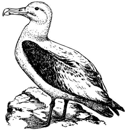 albatross: Bird Short-tailed Albatross