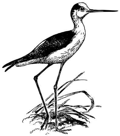 stilt: Bird Black-winged Stilt