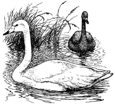 swans: Bird Whooper Swan