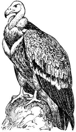 griffon: Bird Griffon Vulture