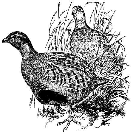 kuropatwa: Ptak Daurian Partridge