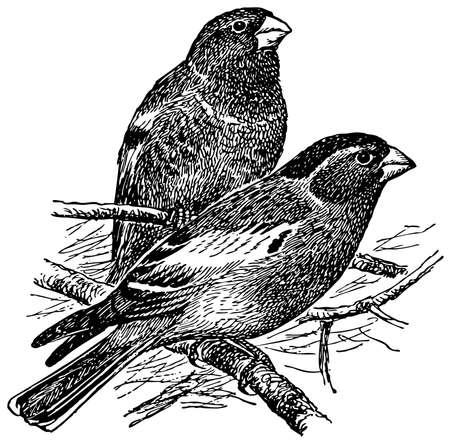 Bird Crimson-winged Finch Stock Vector - 12487011