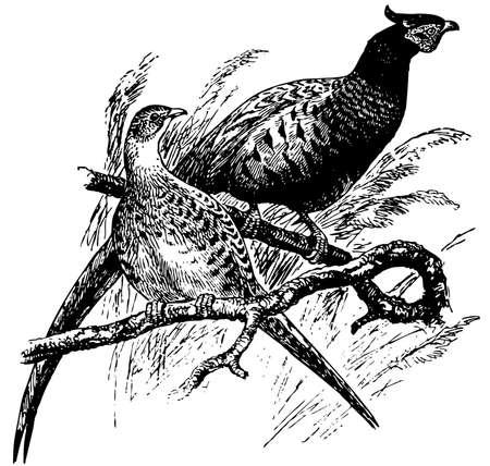 pheasant: Bird Common Pheasant