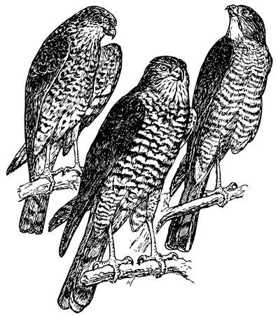 sparrowhawk: Bird Eurasian Sparrowhawk Illustration