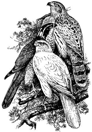 Bird Goshawk Stock Vector - 12487172