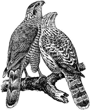 halcones: Bird Azor Vectores