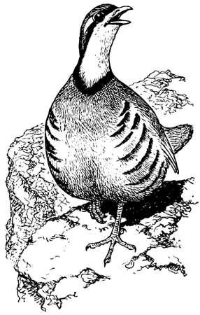 kuropatwa: Ptak Chukar Partridge