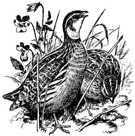 Aves Comunes de codorniz Ilustración de vector
