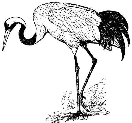 Bird Red-crowned Crane Stock Vector - 12486950