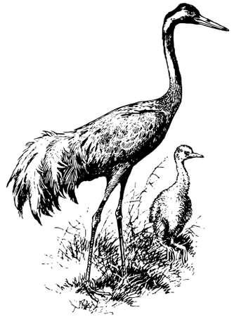 eurasian: Bird Eurasian Crane