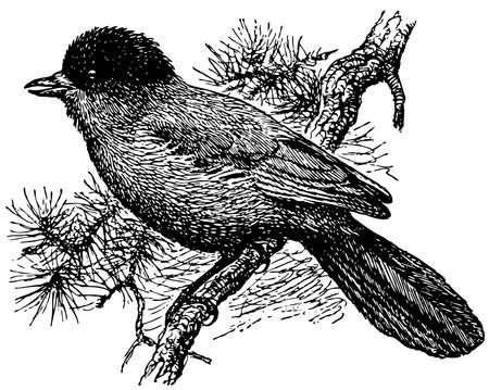 jay: Bird Siberian Jay