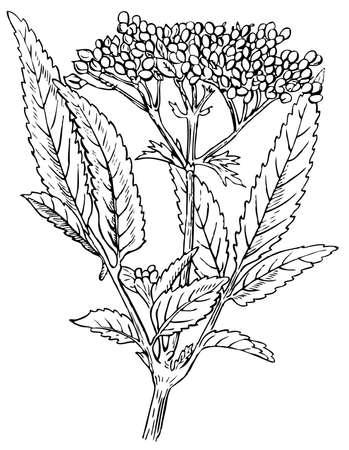 Plant Danewort  Dwarf Elder  Stock Vector - 12487329