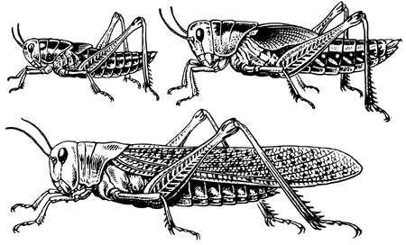 Migratory locust Stock Vector - 12487505