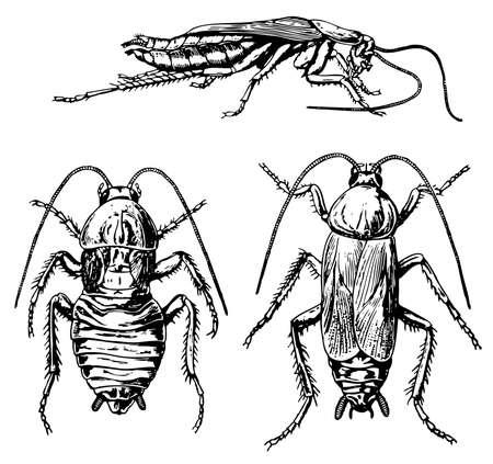 cockroach: Oriental cockroach
