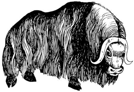 resisting: Musk ox with long wool