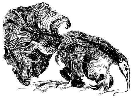 anteater: Giant Anteater Illustration