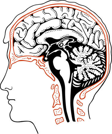 Human brain Stock Vector - 13780001