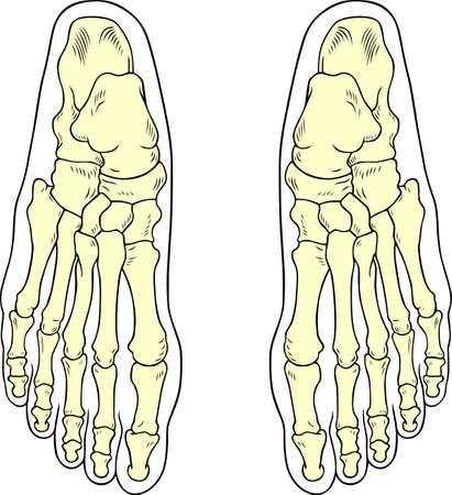 bones of the foot: Foot bones Illustration