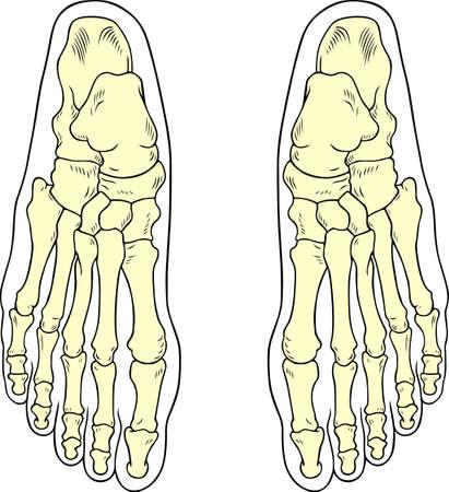 Huesos del pie Ilustración de vector