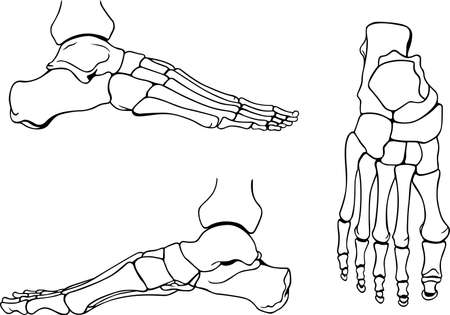 bone anatomy: Foot bones Illustration