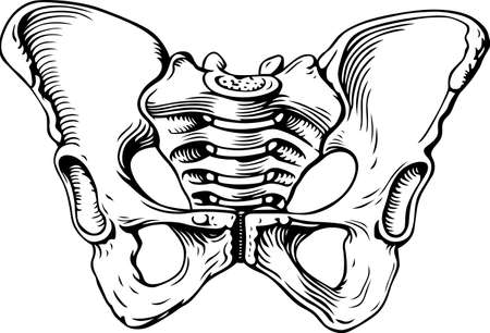 human bones: Human pelvis female Illustration