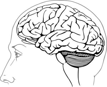 anatomy brain: Human brain