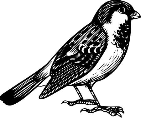 sparrow bird: Sparrow standing