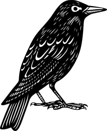 birds silhouette: Blackbird standing