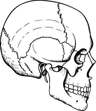 occipital: Human Skull Illustration