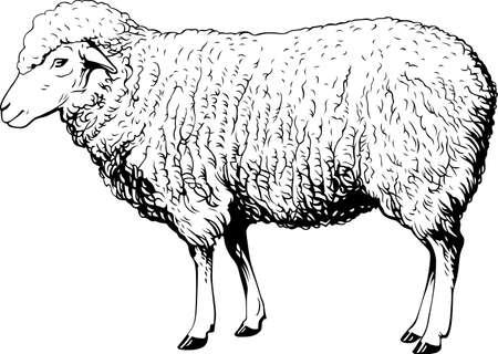 woolly: Domestic sheep
