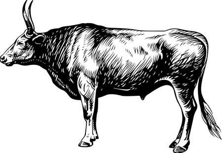 Bullock Stock Vector - 16602734