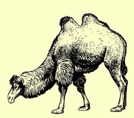 hunch: Camel on yellow background