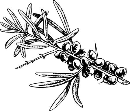 thorn bush: The branch of sea-buckthorn berries Illustration