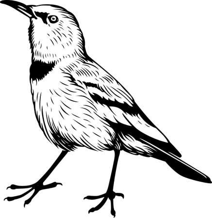 songbird: Pander s Ground Jay  Grey Ground Jay  Illustration