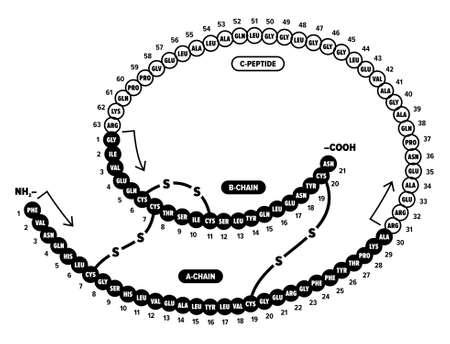 kết cấu: Insulin nhân Hình minh hoạ