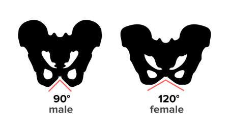Anatomy of human and male pelvic bone structure - Vector Ilustracja