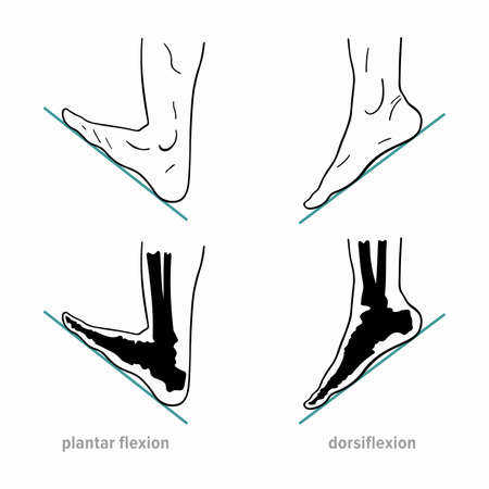 Plantar flexion, dorsiflexion, anatomical terms of foot joint motions Ilustração