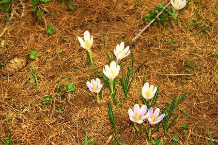 bardonecchia: crocus, white flower