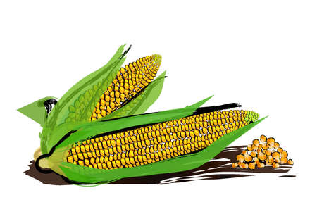 corncob: vector drawing of corn with paint splashes.