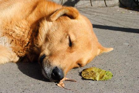 Sad red homless dog lie on stairs floor