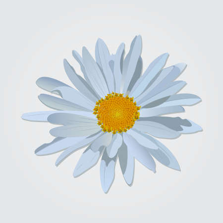 daisyflower: Vector chamomile flower isolated