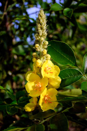 Verbascum thapsus with bee. Yellow flowers of common mullein, great mullein, hag-taper. Stock Photo
