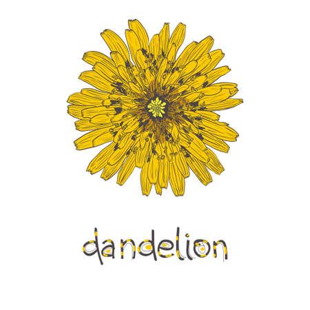 Dandelion. Sketch yellow dandelion.  イラスト・ベクター素材