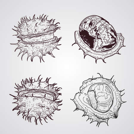 Chestnuts. Sketch. Set of graphic hand drawn illustrations