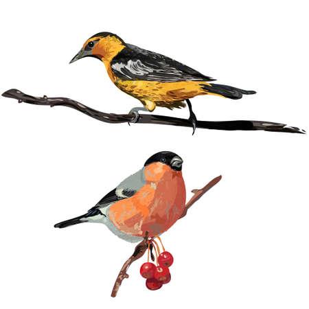 Birds. Oriole bullfinch Vector illustration