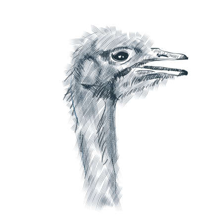 Ostrich. Head of ostrich isolated Sketch