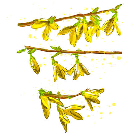 Vector Illustration. Forsythia flowers (Golden-bell tree) illustration with color. Set of yellow spring flowers
