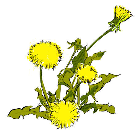 Dandelion flowers isolated on a wjite background. Vector illustration